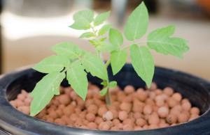 hydroponické pěstování